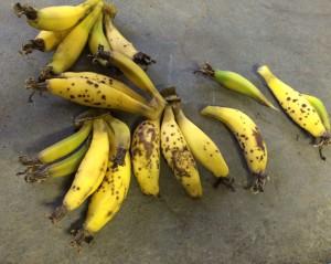 banana-crop-2016