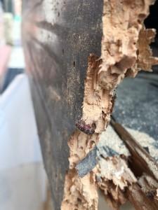 IMG_6061 Death Watch Beetle Damage 1920 wireless