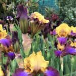 Iris 2017