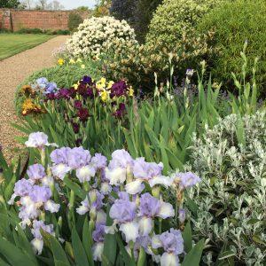 Iris border 16th May
