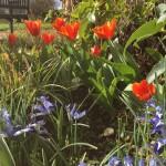 Tulip 'Yari' Iris 'Clairette'