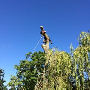 Willow pollarding