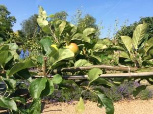 Summer fruit pruning